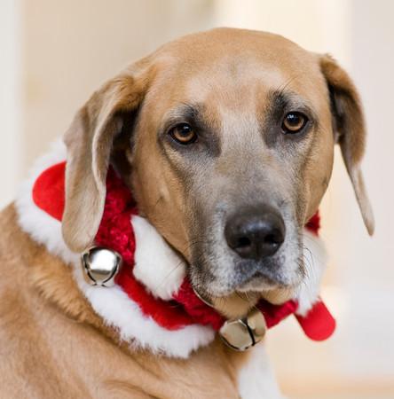 dog with Christmas collar