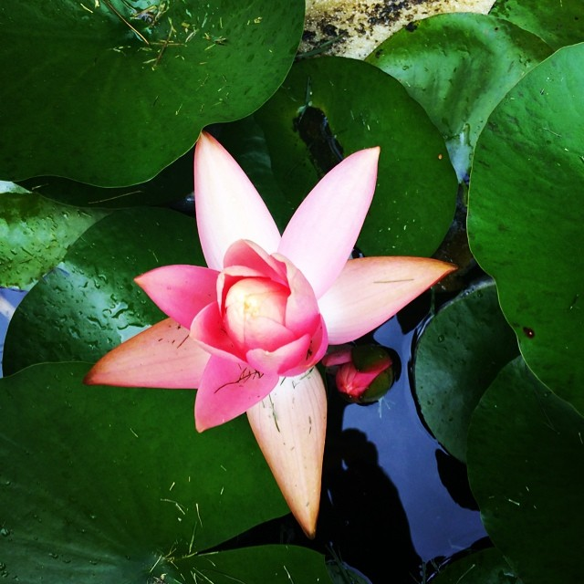 Our pond is water lily crazy this summer!