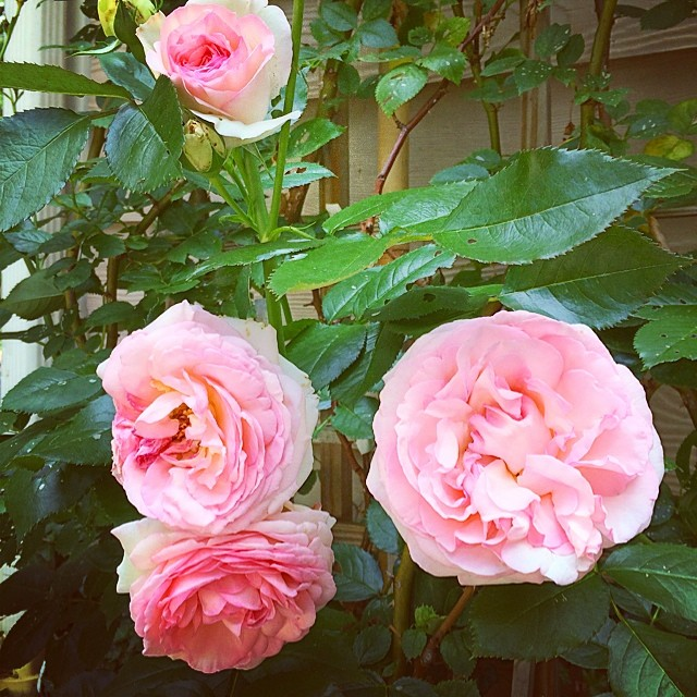 The Southern husband's rose bush is an abundance of summer gorgeousness.