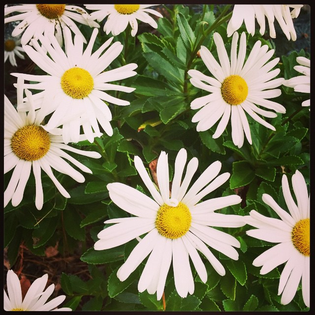 My daisies aren't buying that it's fall. #indenial.