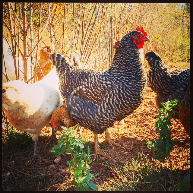 One of these lovely ladies provided me with my breakfast this morning! Not sure which one…